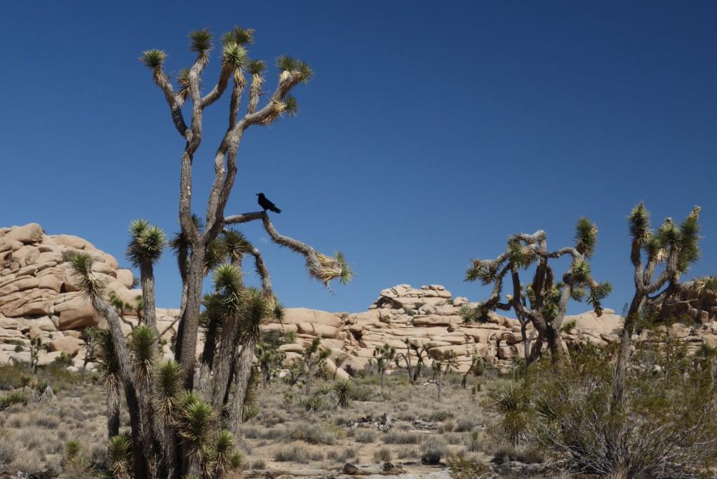 Yucca - Joshuův strom + fógl