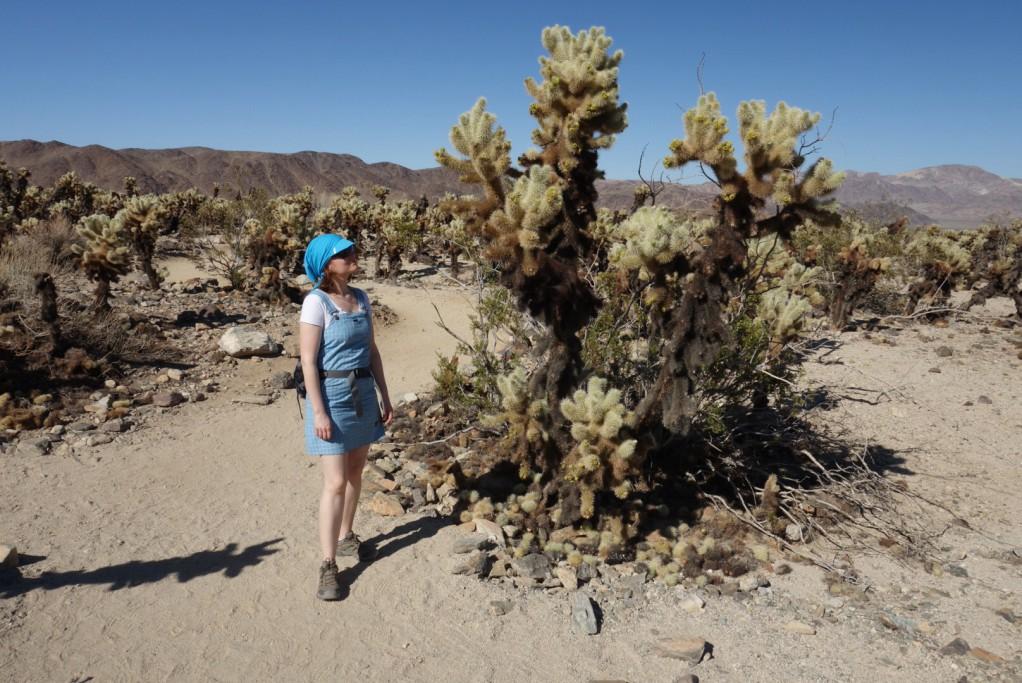 Kaktusy Cholla