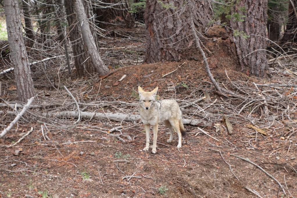Kojot u cesty - asi chtěl přejít